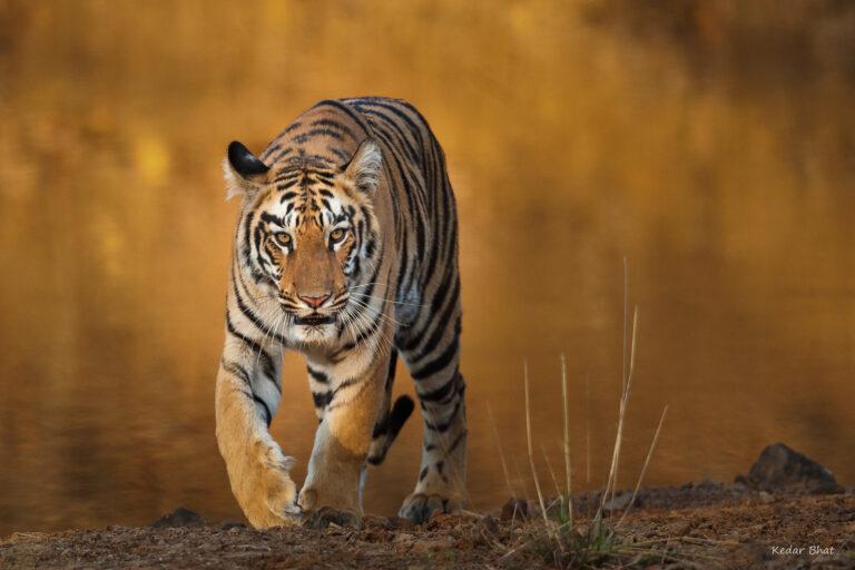 KedarBhat_Tiger_Maya